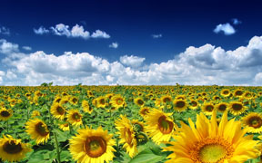 summer_sunflowers 2