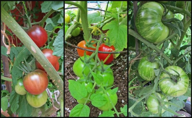 Black Cherry Tomatoes (will turn a merlot wine colour); Roma Tomatoes; Zebra tomatoes (these are huge, can't wait to see what colours they turn).
